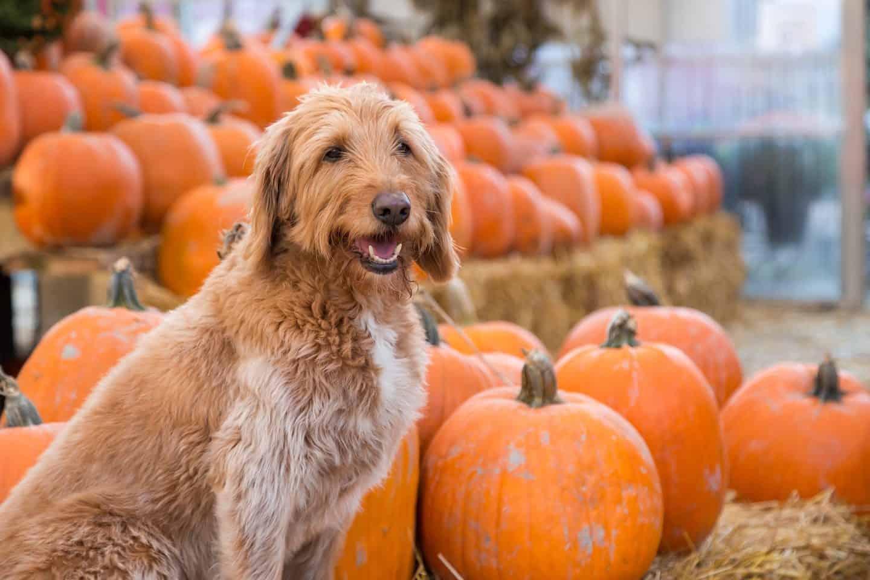 Dog at Dog-friendly Pumpkin Patch