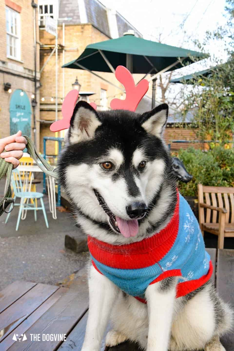 London Dogs In Christmas Jumpers At The Windmill Clapham 3