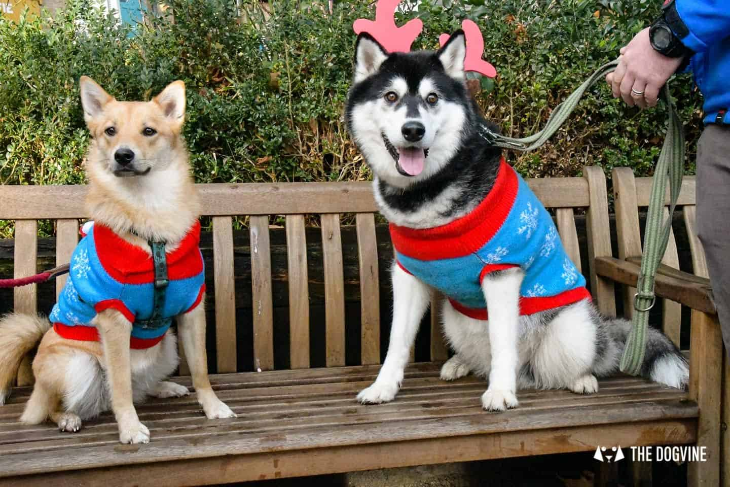 London Dogs In Christmas Jumpers At The Windmill Clapham 30