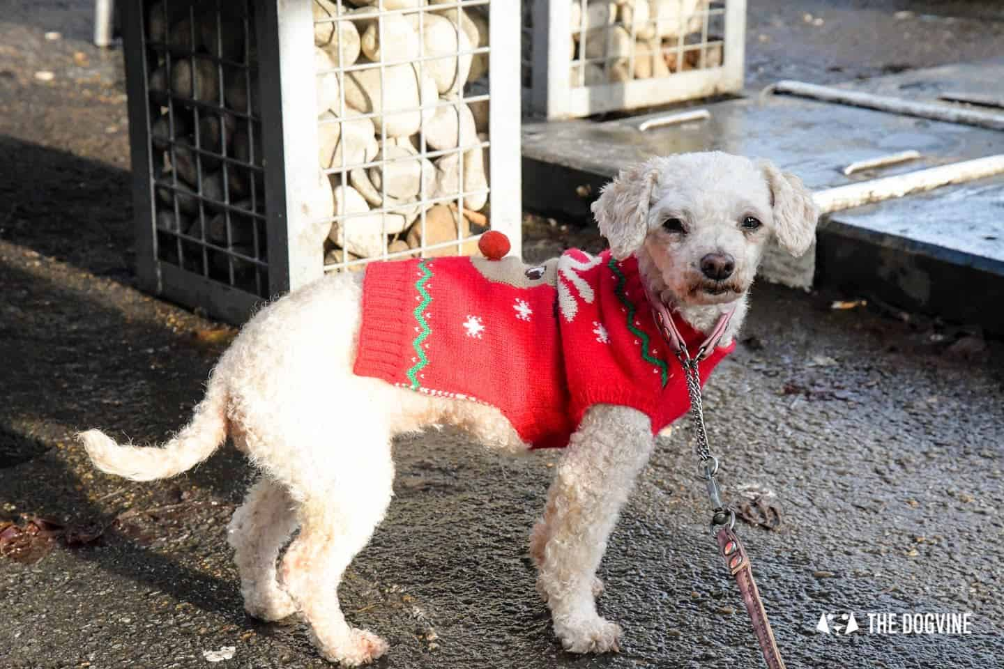 London Dogs In Christmas Jumpers At The Windmill Clapham 34