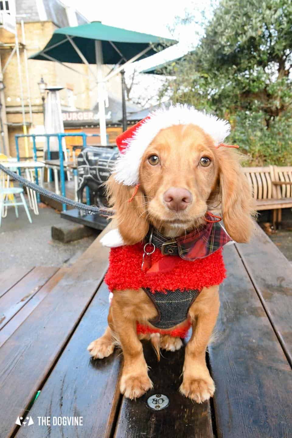 London Dogs In Christmas Jumpers At The Windmill Clapham 37