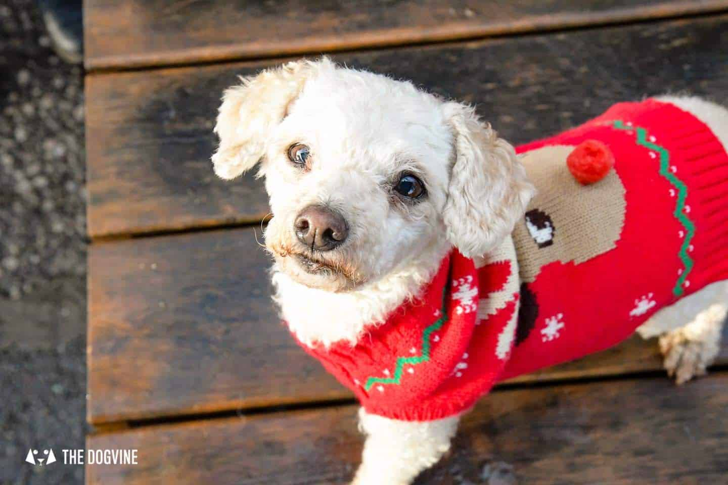 London Dogs In Christmas Jumpers At The Windmill Clapham 8