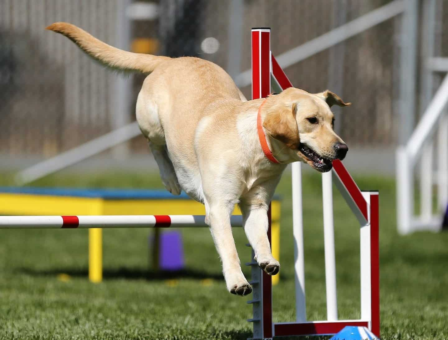 Dog Agility In London | Guide to Dog Agility Classes in London - Leslie Black