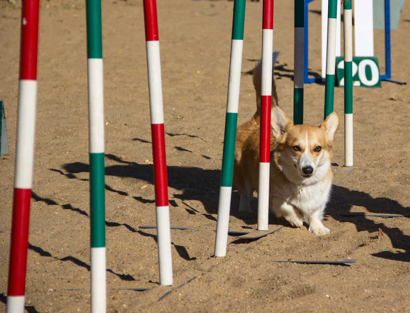 Dog Agility In London | Guide to Dog Agility Classes in London - Photo Elena Rogulina