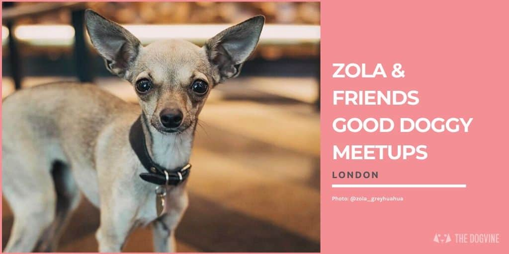 Zola the Greyhuahua Monthly Good Doggy Meetup