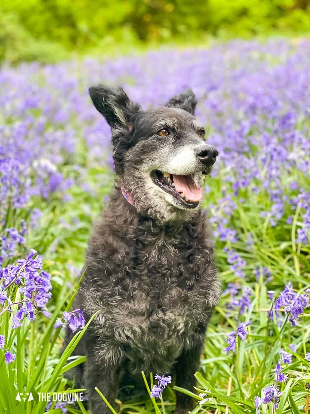 Belinha in the Bluebells at Banstead Woods