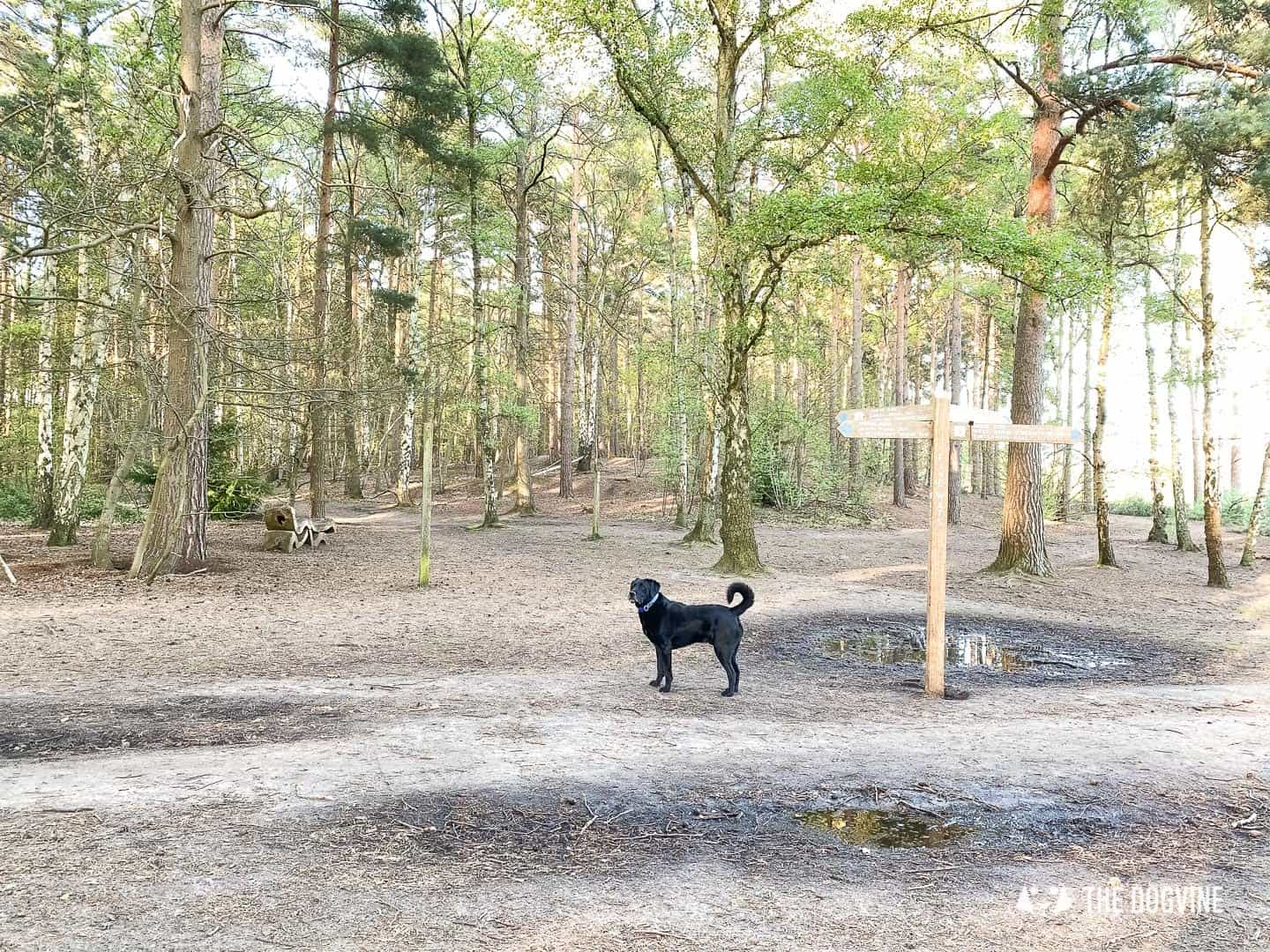 Dog in the woods on Esher Common