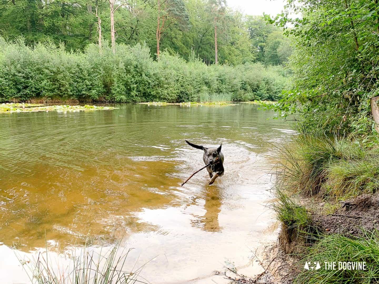 Dog swimming in Middle Pond Esher Common