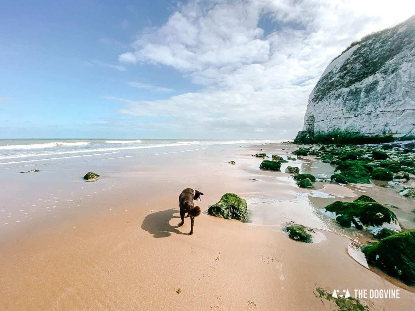 Dog walks on the beach at Dumpton Gap