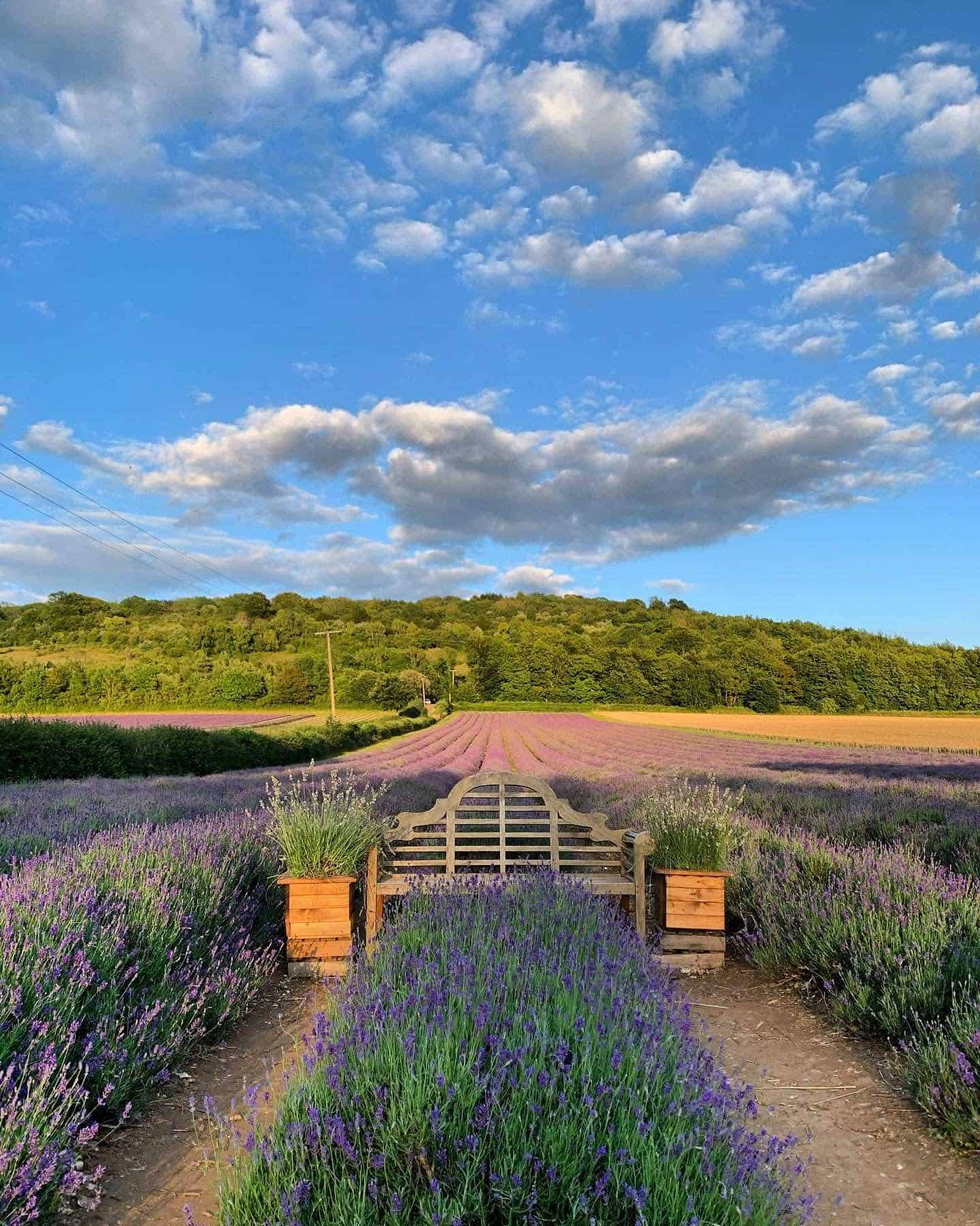 Dog-friendly Lavender Fields Near London To Visit - Castle Farm Lavender Fields Await