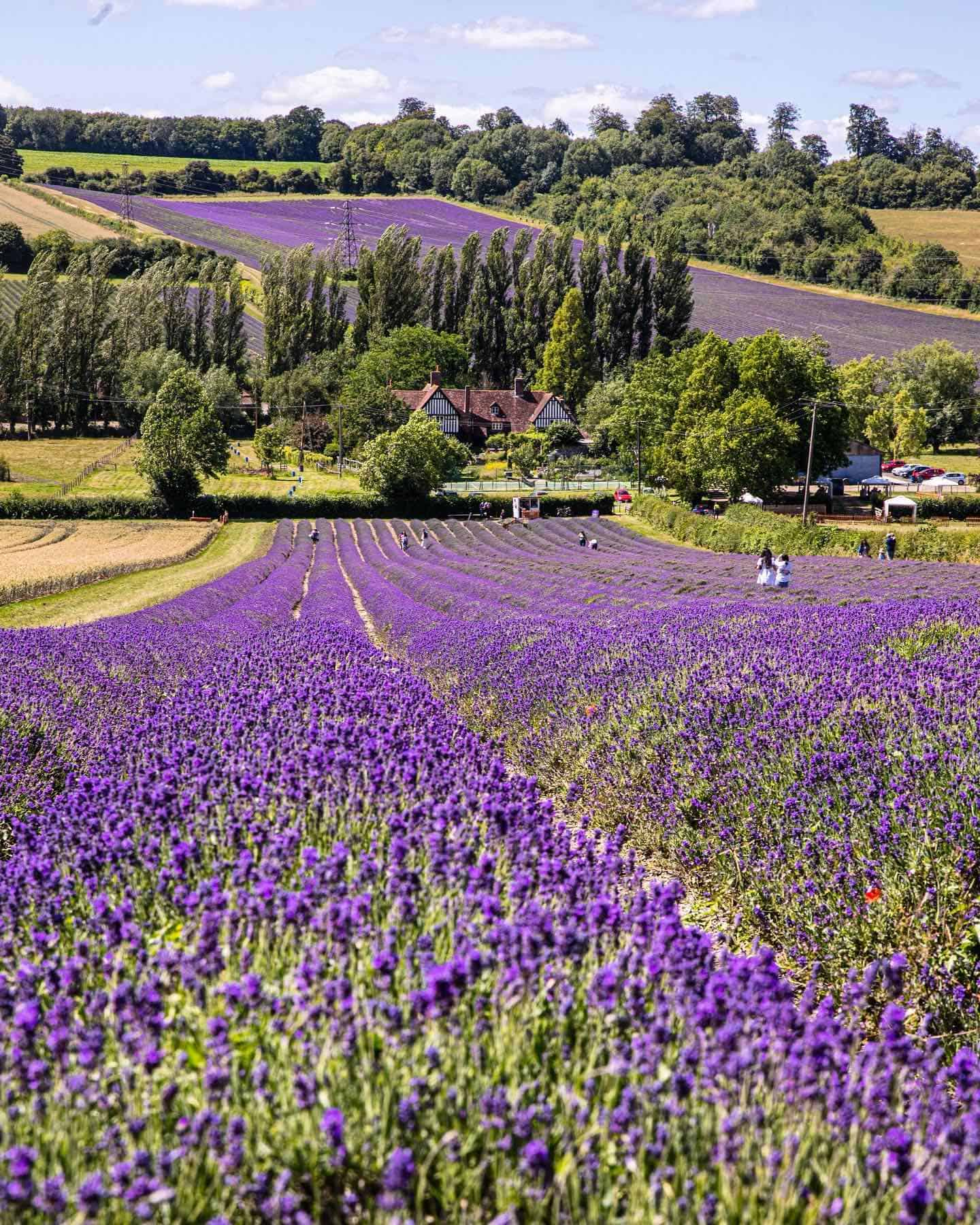 Dog-friendly Lavender Fields Near London To Visit - Castle Farm Lavender Fields
