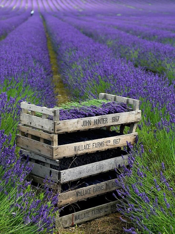Dog-friendly Lavender Fields Near London To Visit - Hitchin Lavender Fields in Bloom