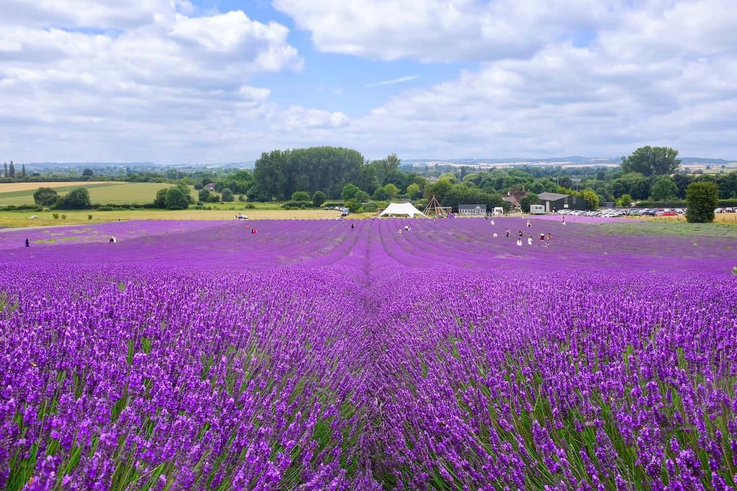 Dog-friendly Lavender Fields Near London To Visit - Hitchin Lavender Fields