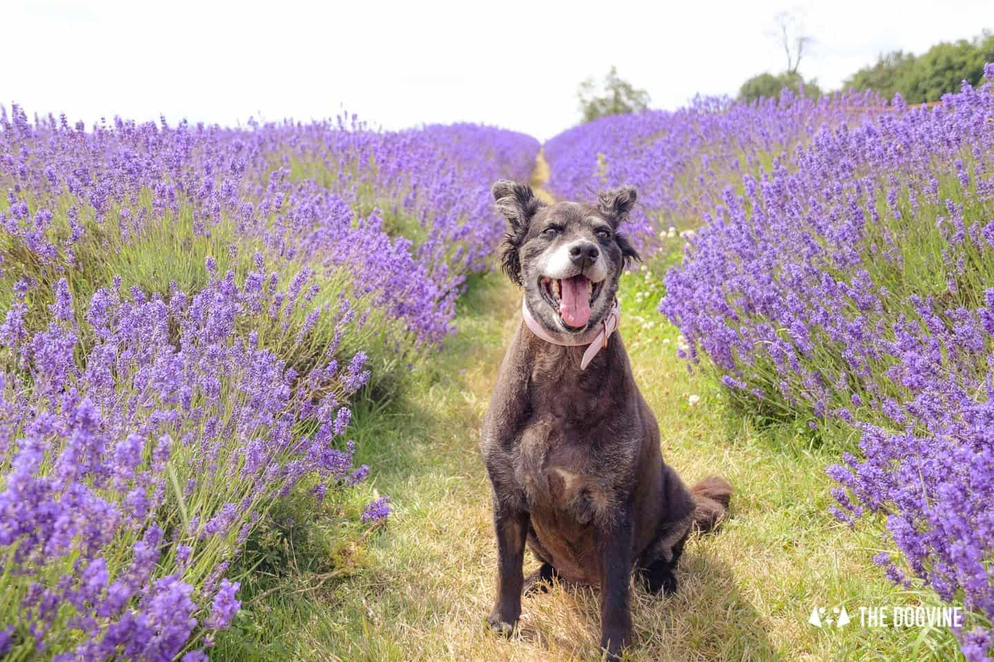 Dog-friendly Lavender Fields Near London To Visit