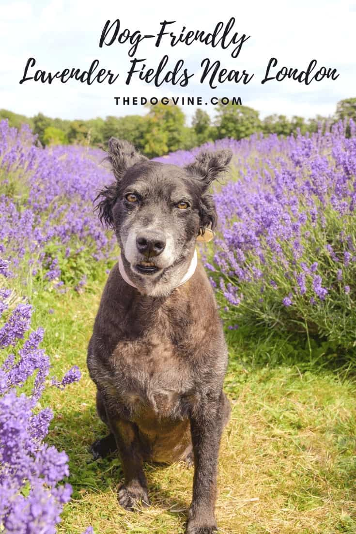 Lavender Fields Near London To Visit With Your Dog