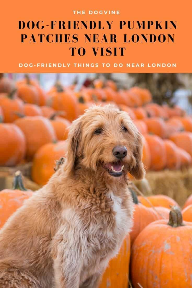 Dog-friendly Pumpkin Patches And PYO Farms Near London