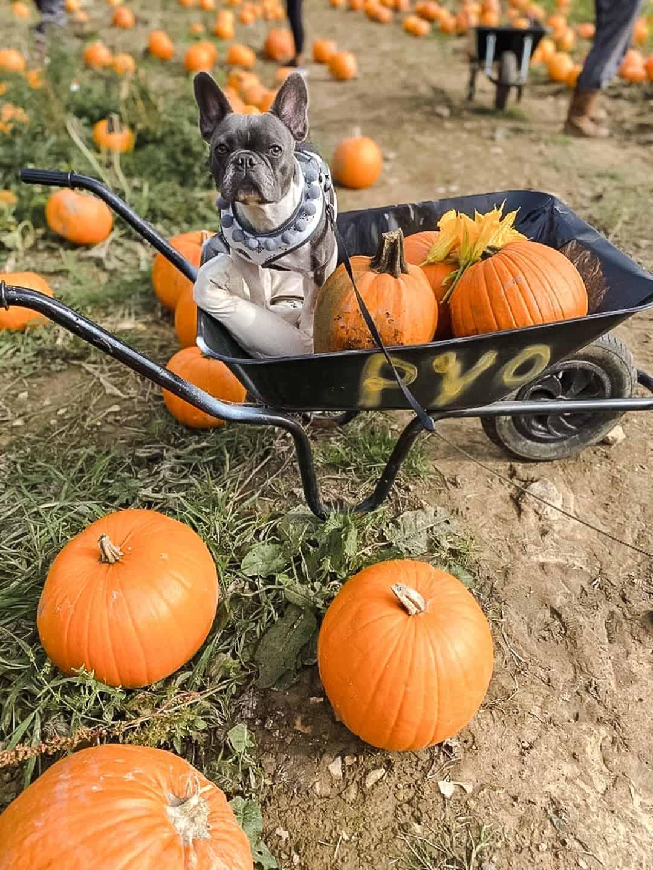 Dog-friendly Pumpkin Patches Near London - Milebush Farm, Maidstone Kent