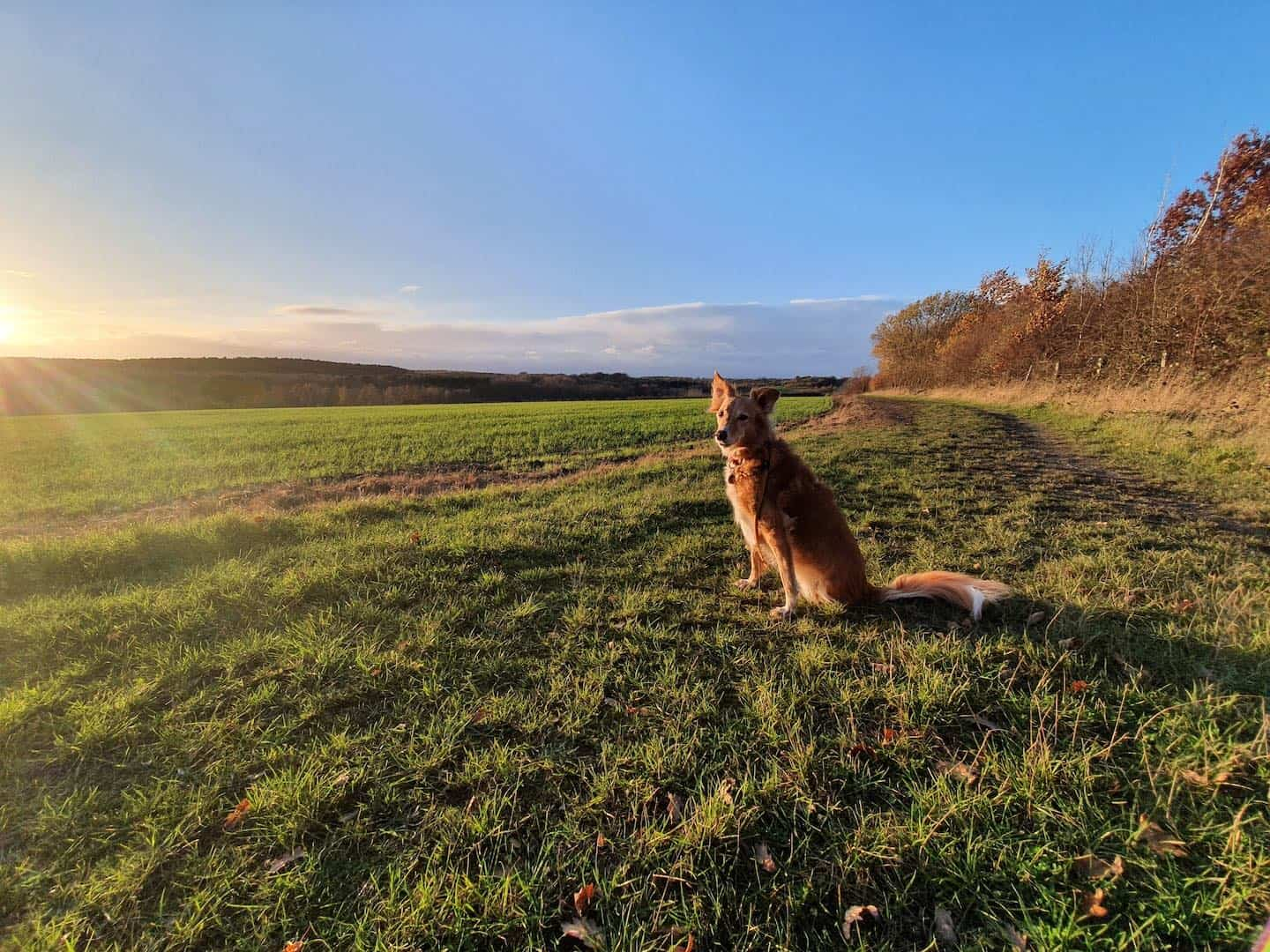 Beautie the 3-legged Rescue Dog from Dubai enjoying the English countryside