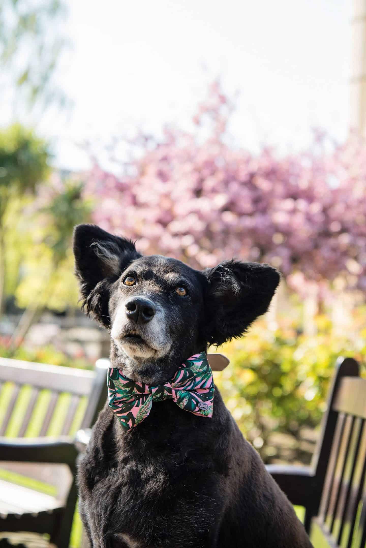 Belinha under the cherry blossom - The Dogvine