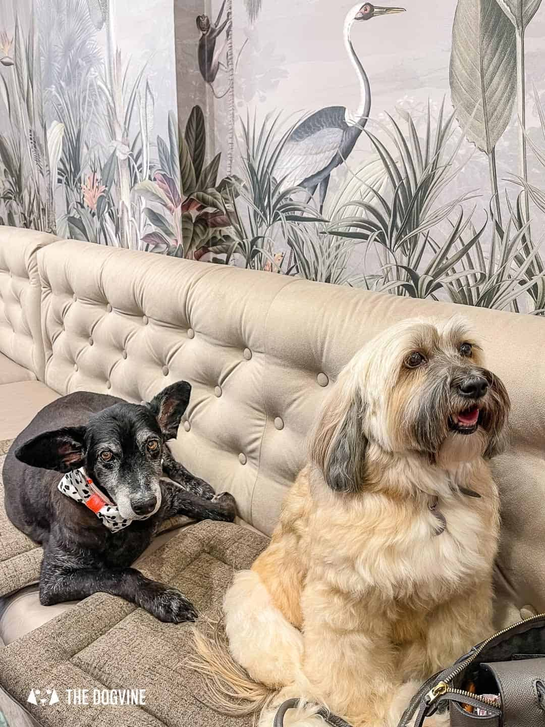 Belinha and Belle relaxing at the Love My Human Townhouse Chelsea