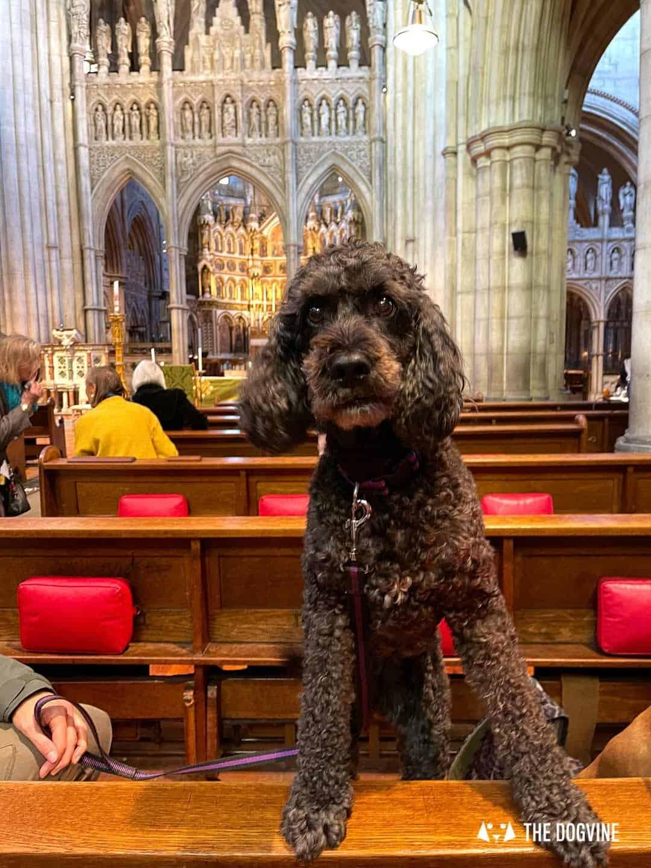 Sula the Cockapoo at the Pet Blessing Service at St John the Baptist Kensington