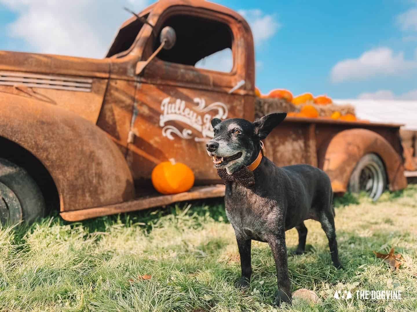 Tulleys Farm Pumpkin Picking A Fun Thing To Do With Your Dog